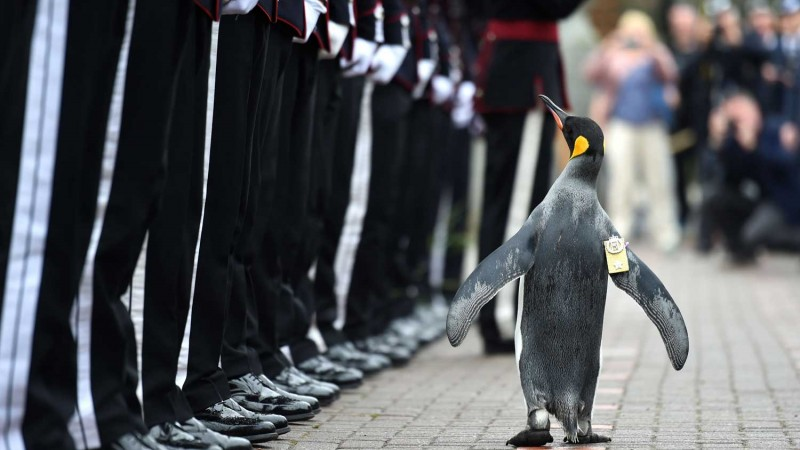 VIP (Very Important Penguin) Promoted To Brigadier