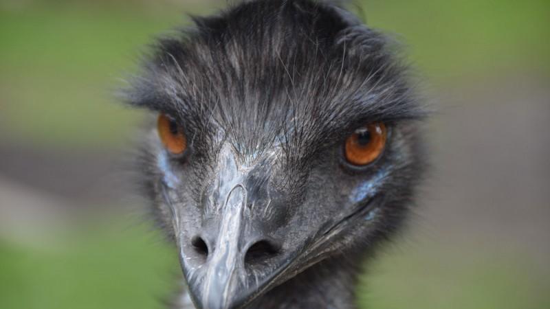 the great emu war how australia was beaten by a bird