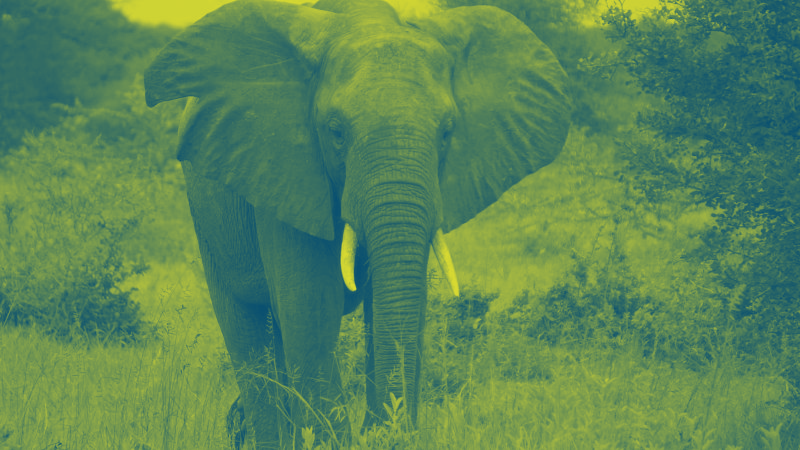 African Elephant roams free at the Selous                       Reserve in Tanzania Credit DVIDS Timothy Ryan                       Duotone