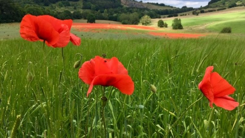 Poppies in the field. Credit: David Wells.