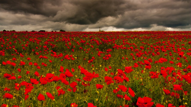 Remembrance Day: The Story Of The Poppy