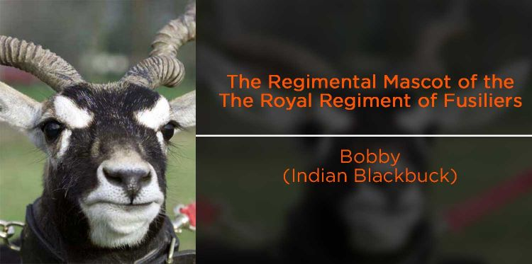 Bobby (Indian Blackbuck antelope) - Fusiliers regimental mascot