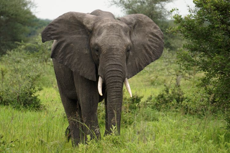 African Elephant roams free at the Selous                       Reserve in Tanzania Credit DVIDS Timothy Ryan