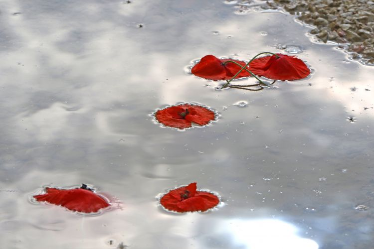 Poppies in a puddle. Shutterstock