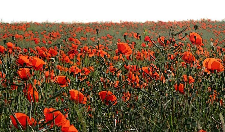 Poppies on the Marne (image: agracier)