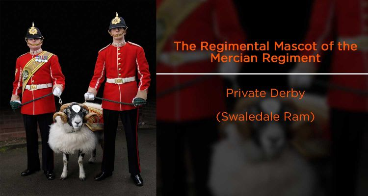 Mercian Regiment mascot Private Derby
