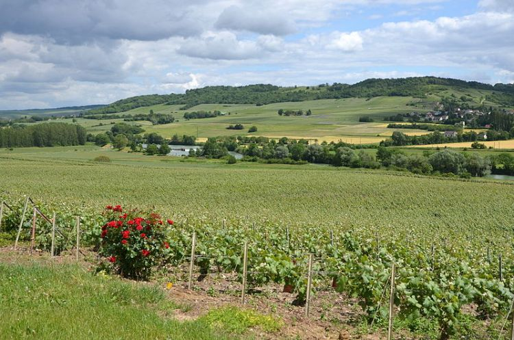 Vineyards near to Trelou sur Marne by Pline