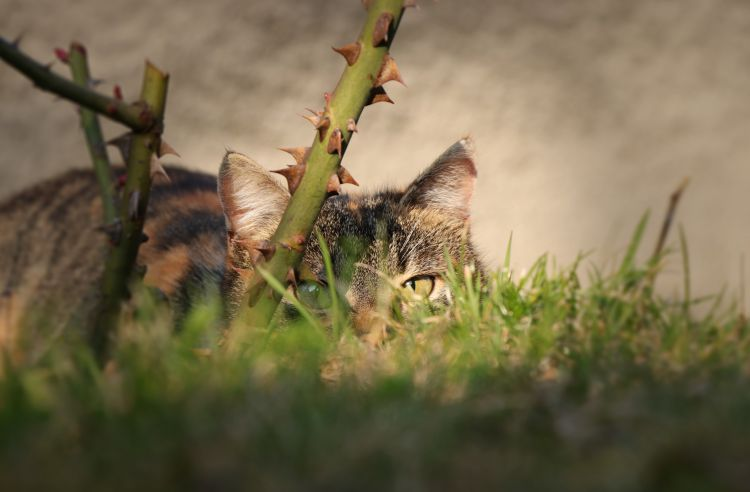 Cat Spy Rose Thorns Grass Credit:                       Shutterstock / Fauren