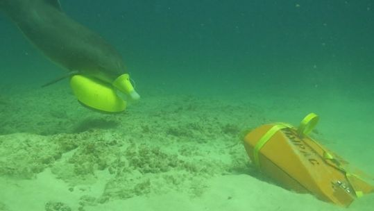 A bottlenose dolphin places a marking device on an exercise sea mine (Picture: US Department of Defense).