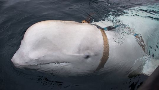 Beluga whale found in Norway