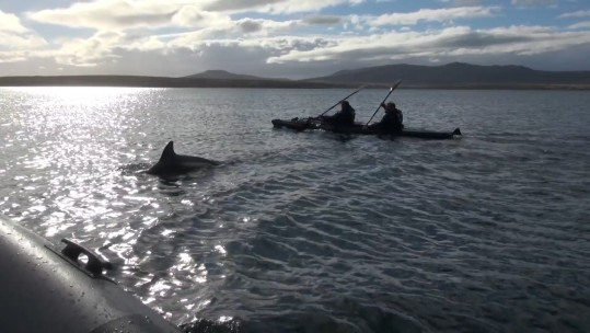 Kayaking Falklands With Dolphins