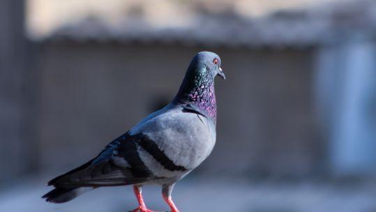 Pigeon on concrete 140919 CREDIT                           Unsplash.jpg