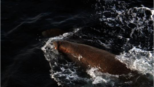 Walrus near Franz Josef Land
